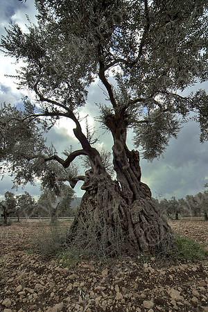 olive grove - כרם זיתים