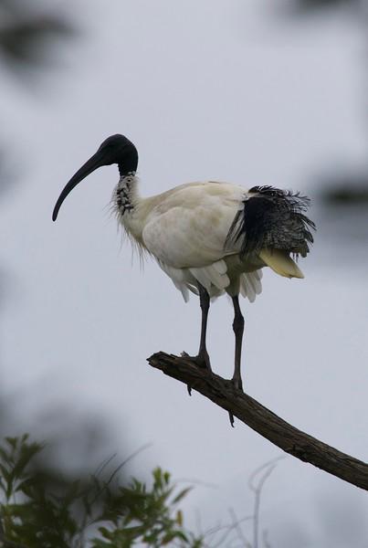 Australian white ibis, Currimundi, Australia