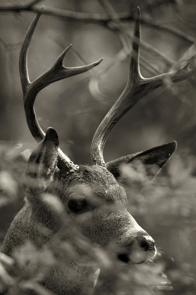 Black-tailed buck
