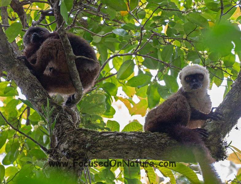 White-fronted Brown Lemurs