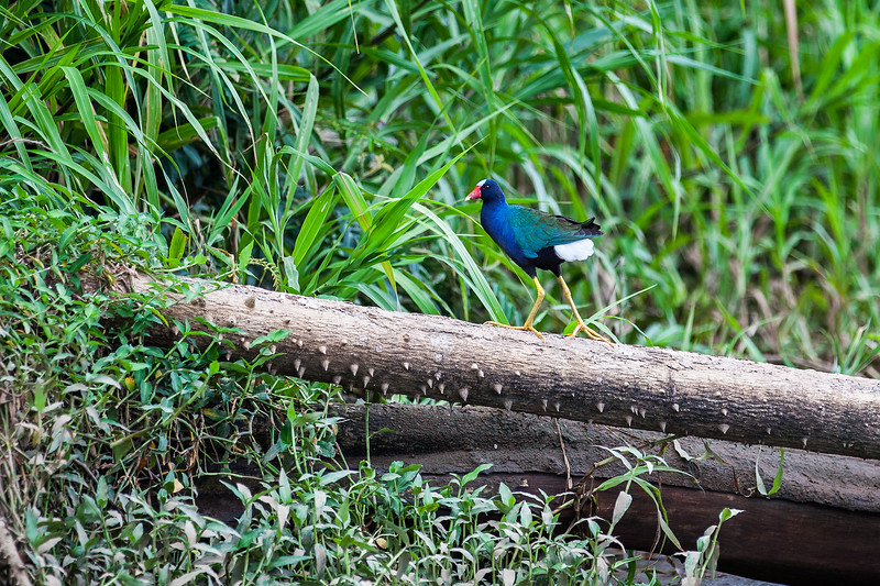 PURPLE GALLINULE-EDITED.jpg