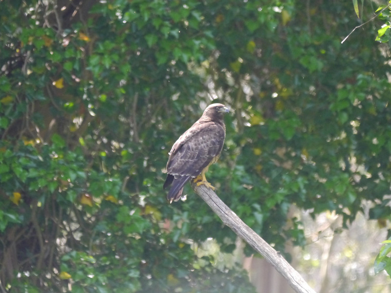 Hawk, Red-tailed -photo 8