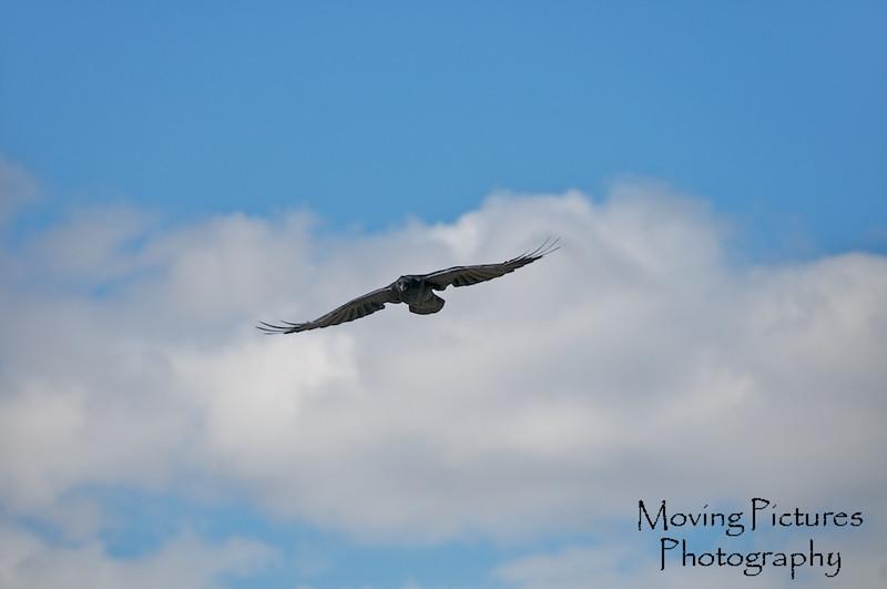 Grand Tetons NP - Common Raven