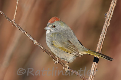Green-Tailed Towhees