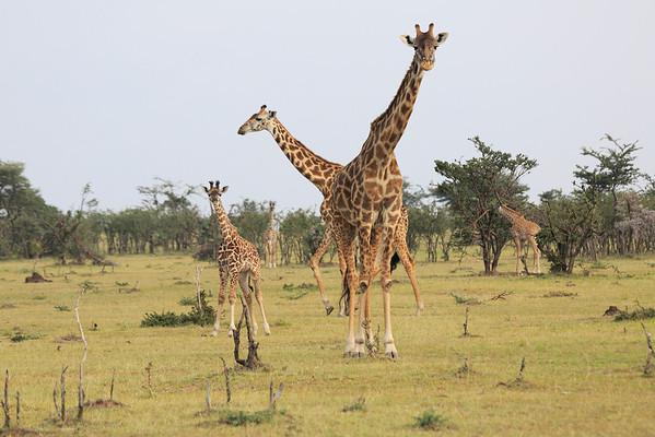 Giraffe Mara Reserve 2014