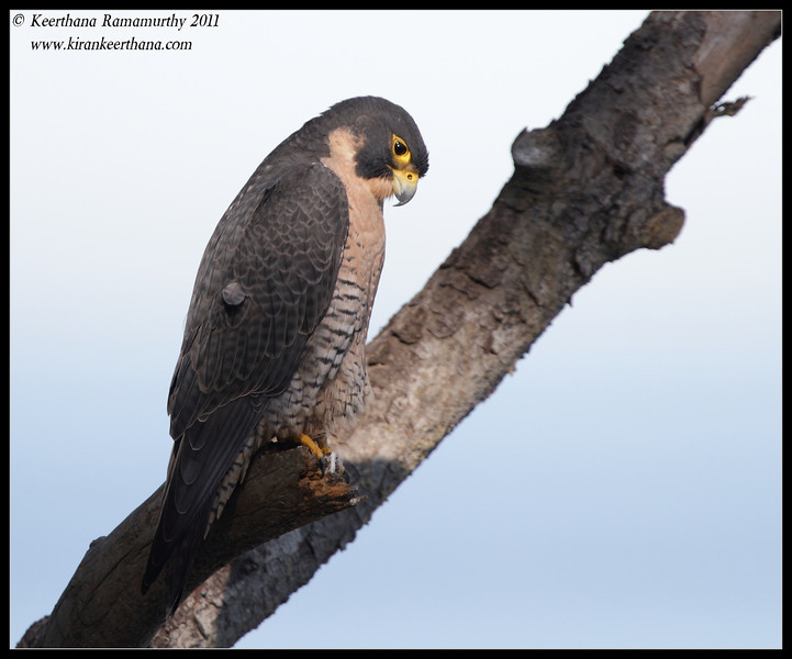 Peregrine Falcon, La Jolla Cove, San Diego County, California, December 2011