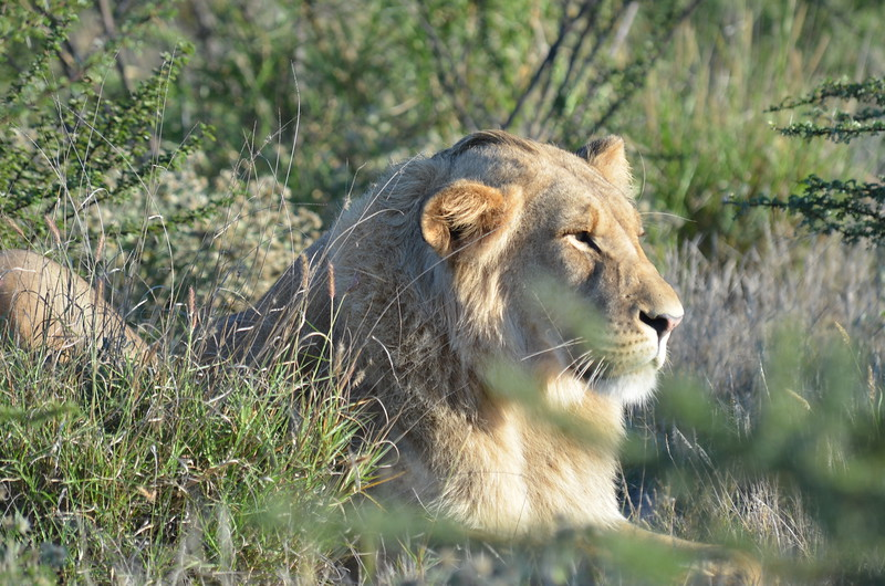 39 - Young male Lion - Kalahari - Anne Davis