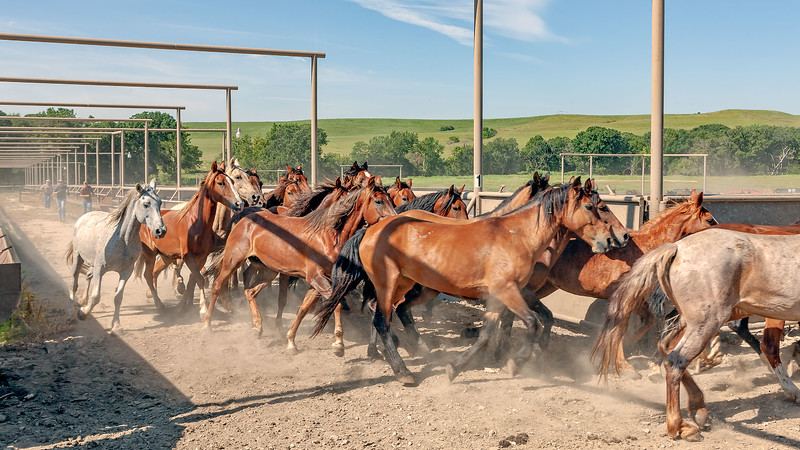 The workers have separated these mares from the larger waiting group, and are sending them down these alleyways toward a waiting trailer.