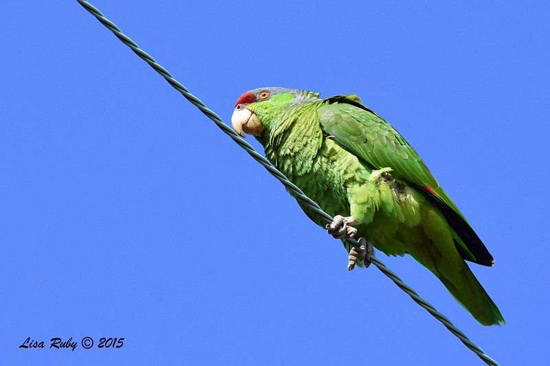 Lilac-crowned Parrot - 5/10/2015 - Point Loma Nazarene University
