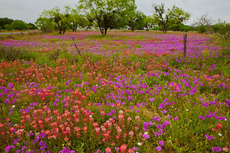 Texas wildflowers 482