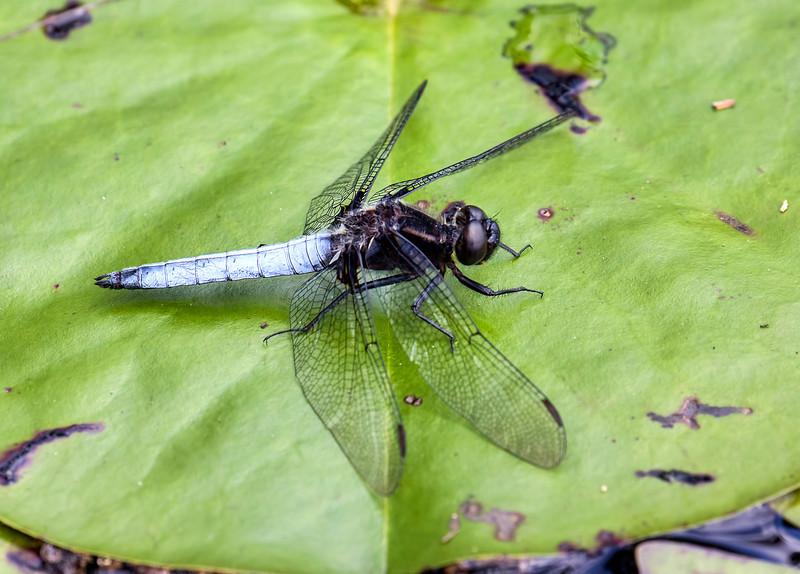 White Corporal (Ladona exusta), male;  Harrisville Pond, NJ