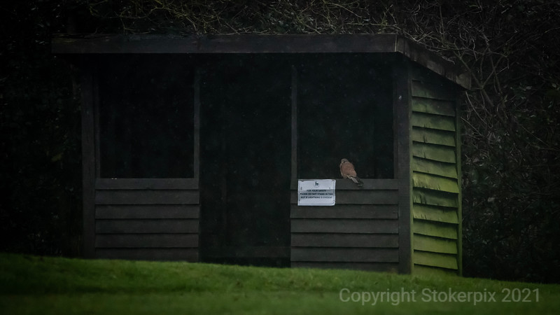 Goring and Streatley Kestrel staying out of the rain