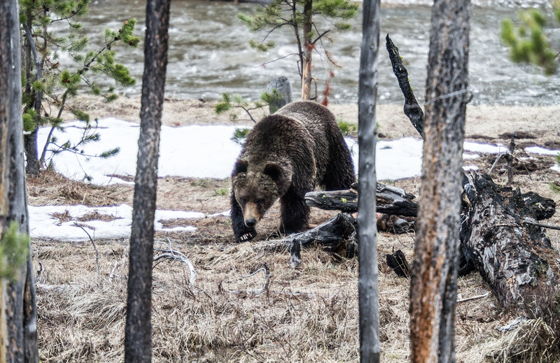 Grizzly bear boar male Yellowstone National Park WY IMG_0382.jpg