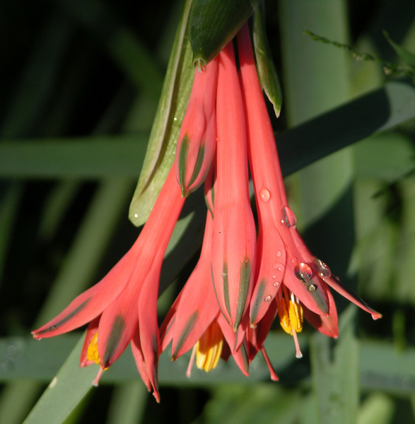 Stenomesson incarnatum