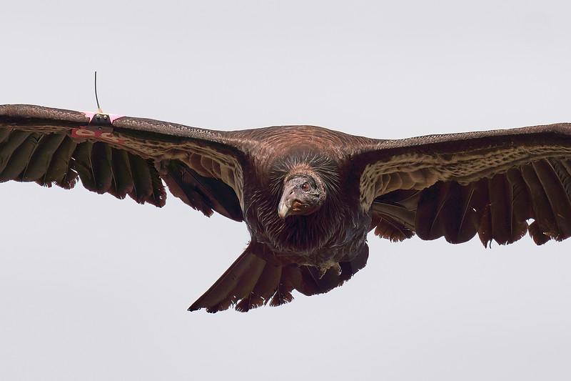 Calfornia Condors at Pinnacles