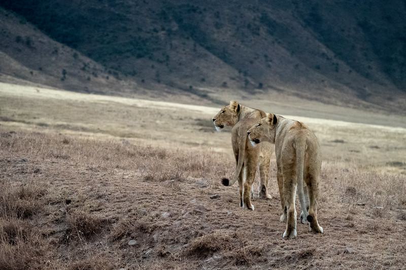 Lions in the Ngorongoro Crater