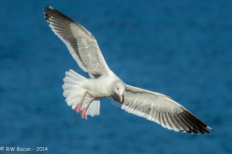 Western Gull Full Flaps.jpg