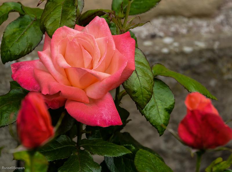 Rose Scotland-1.jpg