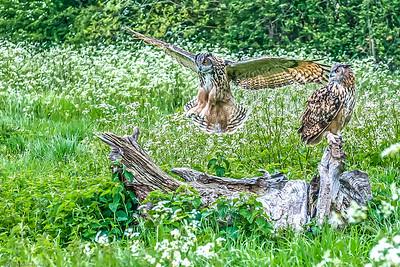 Birds Raptors
