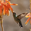 Female Anna's hummingbird feeding at an Aloe flower.