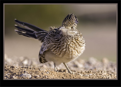 Doves, Parrots, Pigeons, Roadrunners