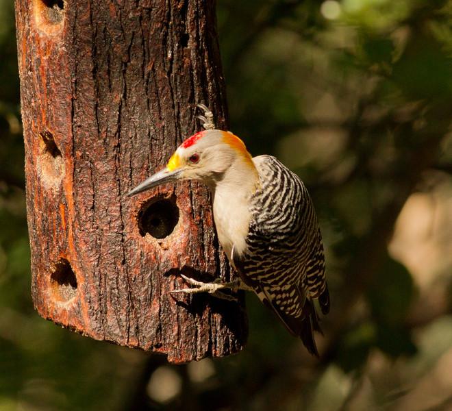 Golden-fronted Woodpecker Santa Ana NWR Texas 2012 03 22-2565.CR2