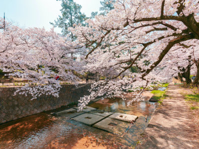 Cherry blossoms in Kobe, image copyright QUANGHUNG PHOTOGRAPHY / Shutterstock.com