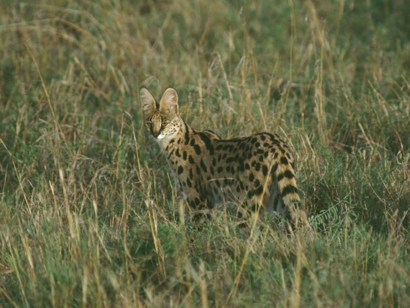 2004225a Serval.jpg