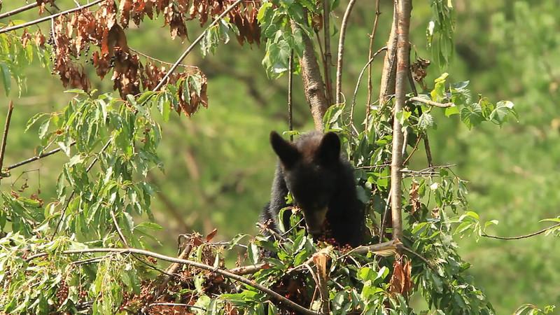 Black bear cub eating cherries