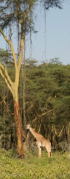GiraffesK-6.jpg