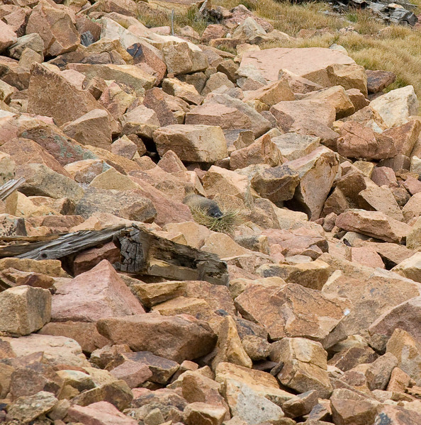 """If you look carefully in the center, you can see a marmot with his mouth full of """"hay""""."""