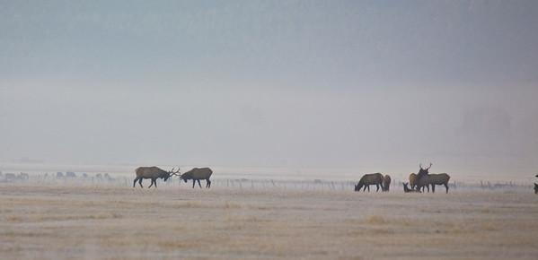 Boulder Elk Herd