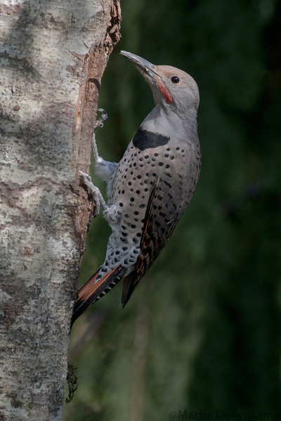 NorthNorthern Red Shafted Flicker male