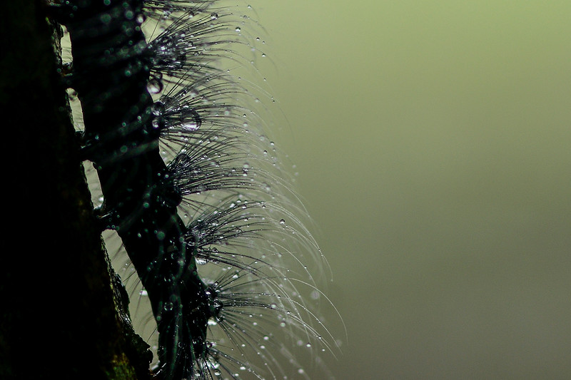 Hairy-with-droplets-caterpillar.jpg