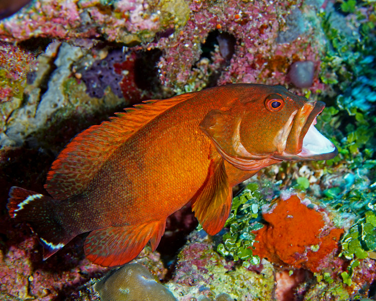 Flagtail Grouper