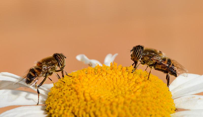 Sharing-a-flower-bees-coonoor-3.jpg