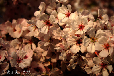 2012 Cherryblossoms - A Sunny Evening