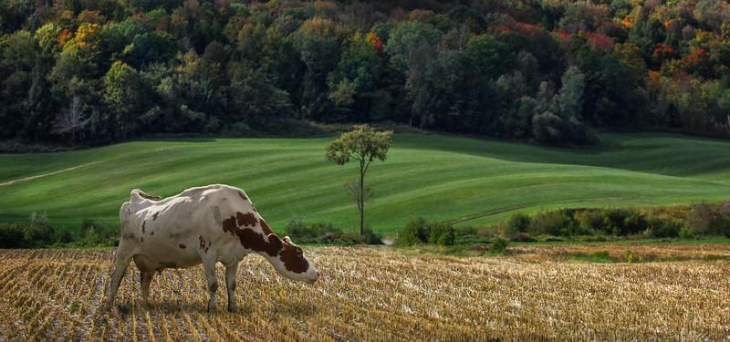cow-jaypeak.jpg