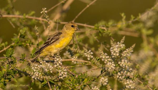 Lesser Goldfinch 2 TR.jpg
