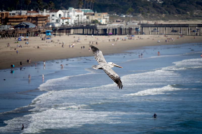 A pelican soars over the Saturday afternoon beach crowd in Pismo Beach
