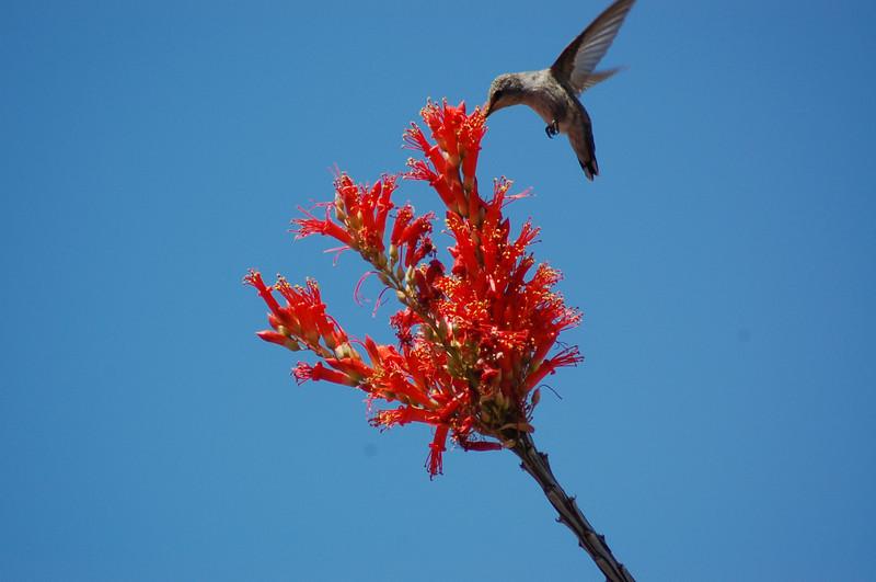 20130425_Hummingbird_007.JPG