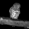 Barred Owlet in Mono
