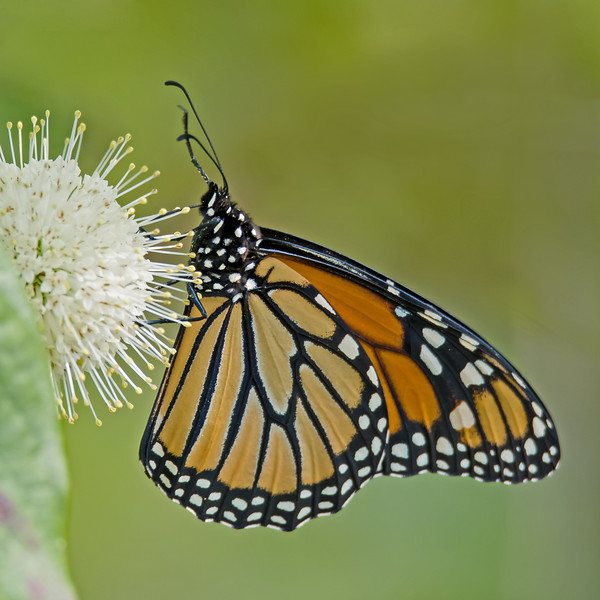Monarch Butterfly on Button Bush