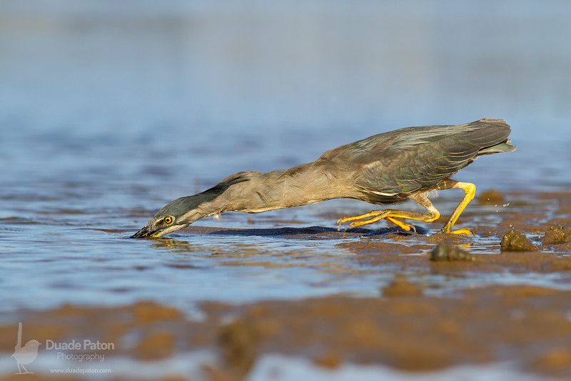 193-Striated-Heron-Orient-Point-15-2-13-5.jpg