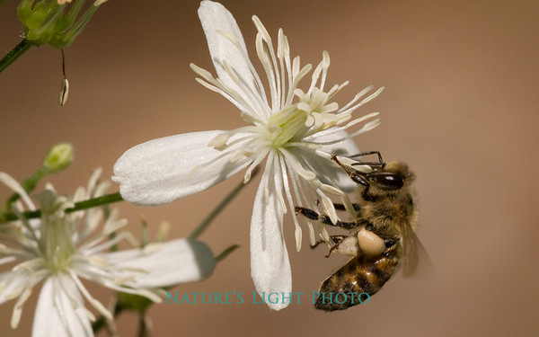 Bee on White Flower - Large File-9419.jpg