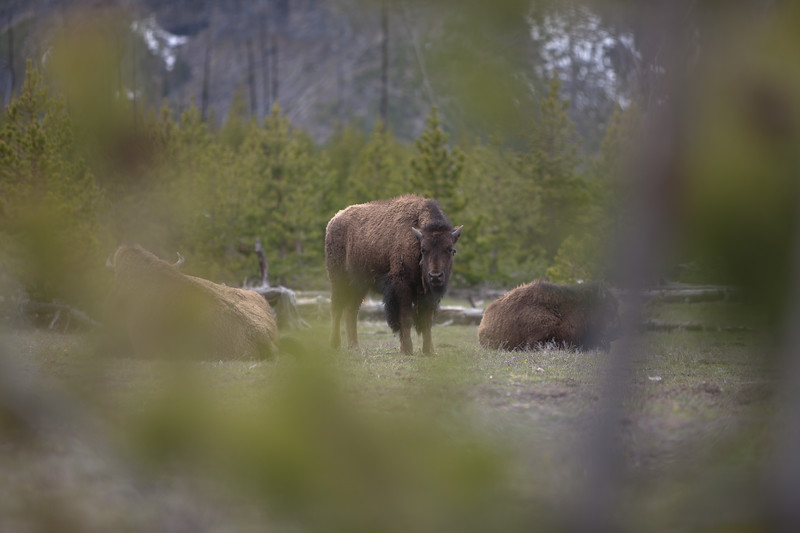 Bison from Afar