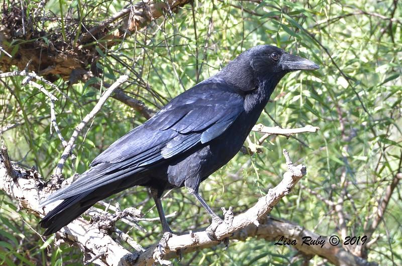 American Crow  - 11/3/2019 - Poway, Budwin Lane