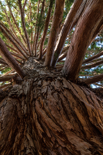 Forest Portrait: The Giant's Grove   Palomar Mountain