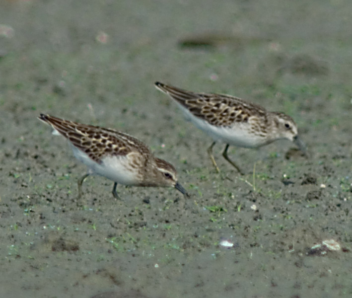 Mocking me?  Two Least sandpipers at the Oxbow