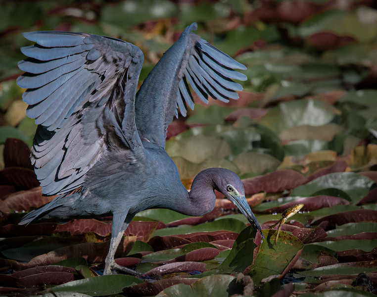 _5001324 Little Blue Heron with escaped frog.jpg